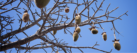 a5afed53e86299-baobab-seed.png